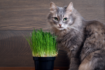herbe à chat et chat